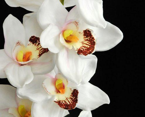 fiori-orchidea2